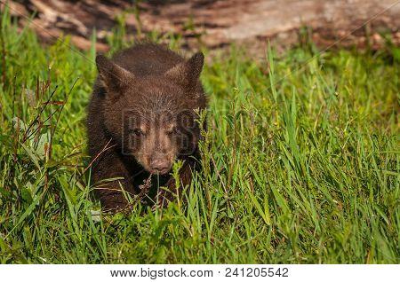 Black Bear Cub (ursus Americanus) Walks Forward Through Grass - Captive Animal