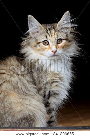 Small Norwegian Forest Cat Kitten Sitting On Doorstep
