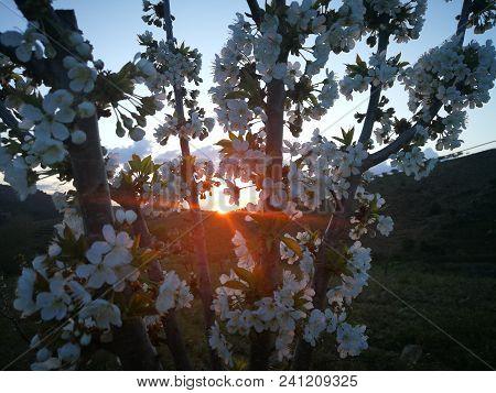 Cerejeira Em Flor Em Cedaínhos, Mirandela, Bragança, Portugal