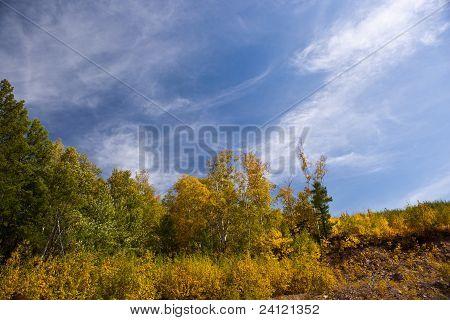 White Birch Forest In Autumn