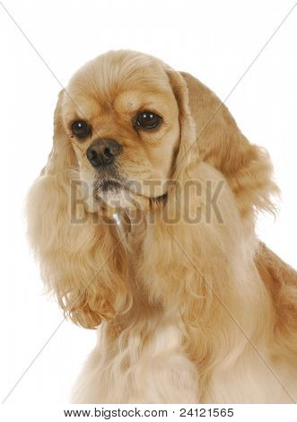 cute dog - champion American cocker spaniel male - 3 years old on white background poster