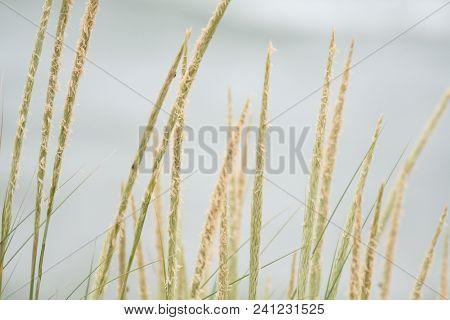 Beach Grass On Lake Michigan.  Saugatuck, Mi, Usa.