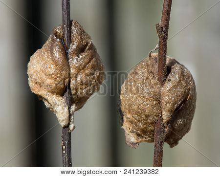 The Back Or Rear View Of Two Praying Mantis Nests. The Egg Cases Are Spun Onto Small Brown Twigs.  T