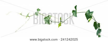 Vine Plants Isolated On White Background, Clipping Path.