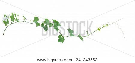 Vine Plants Isolate On White Background, Clipping Path