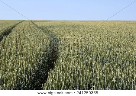 Ripening Field Of Rye With Tractor Tracks.
