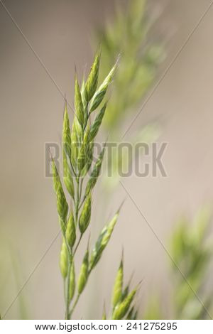 Green Ear Of Corn In A Soft Background