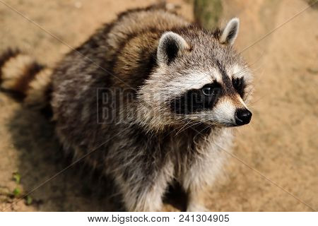 Close-up Full Body Of Sitting Common Raccoon. Photography Of Wildlife.