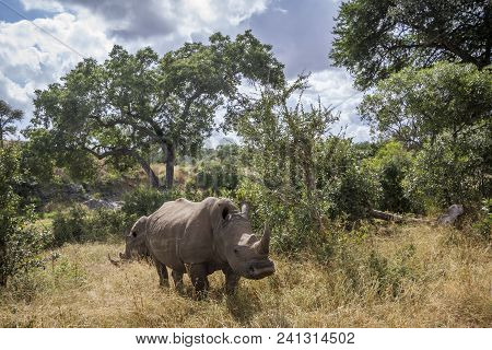Southern White Rhinocerose In Kruger National Park, South Africa ; Specie Ceratotherium Simum Simum