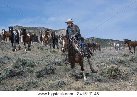 Cowboy Wrangler Riding Paint Horse Leading Herd Of Galloping Horses At A Gallop In Craig, Co May 5,