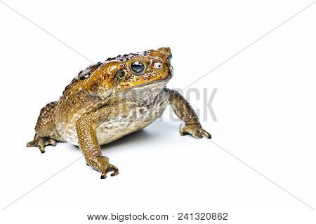 Toad Aga. Giant Neotropical Toad. Rhinella Marina. Toad Aga On White Background, Amphibians Closeup