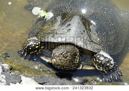 The European Pond Turtle (emys Orbicularis), Also Called The European Pond Terrapin And European Pon