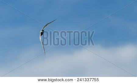 Little Tern Fly Sterna Albifrons Little Tern Fly