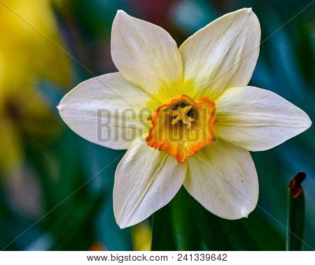 Close Up Of A Single Yellow And White Daffodil Flower With A Dark Background