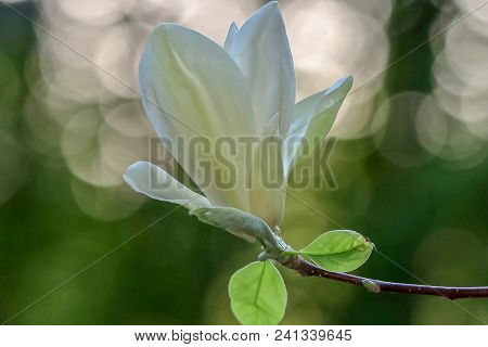 Close Up Of A White Magnolia Flowr With Bokeh Background