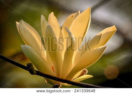 Close-up Of A Golden Magnolia Flower In Bloom