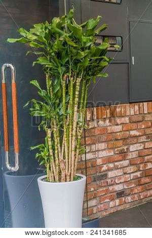 Tall, Young Bamboo Plants In A White Vase Sitting Outside Unidentified Building.