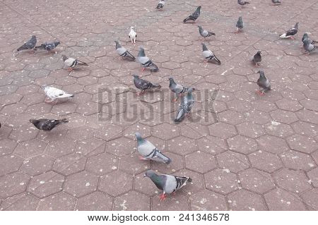 Many Pigeons Eating Food On Floor At Park.