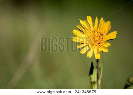 Closeup View Of Blossom Of Meadow Goat's-beard (tragopogon Pratensis)