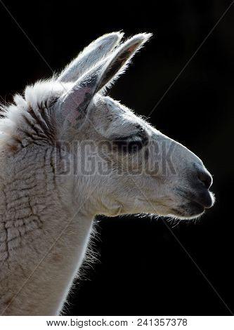 Llama Head On The Black Background Closeup