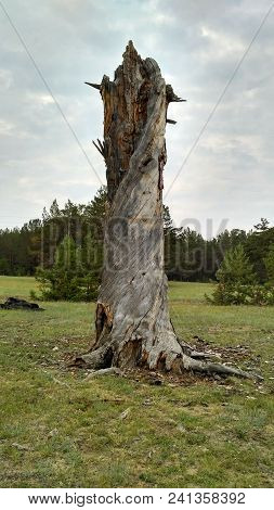 The Trunk Of A Dried, Twisted Wood Of Bleached Wood With Wind And Sun