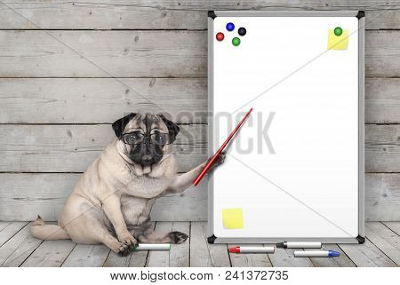 Serious Pug Puppy Dog Sitting Down, Pointing At Blank White Board With Yellow Notes And Magnets, On