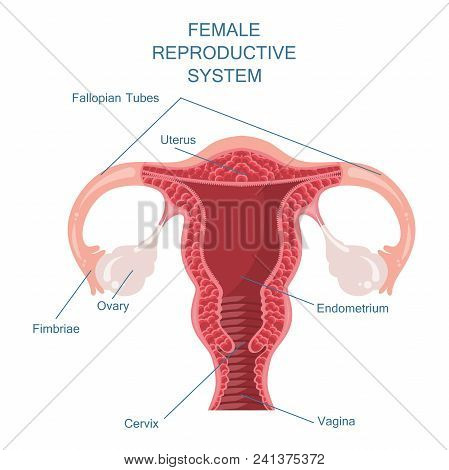 Female Reproductive System Vector Illustration Concept In Modern Style
