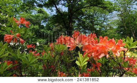Flowering Red Shrub Rhododendron Mollis In The Park In The Spring Under The Trees. Mollis Azalea, Rh
