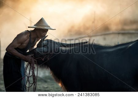 Thai Farmer And Buffalo Walk Over The Field Go Back Home With Sunset,after Plowing In Rice Fields, I