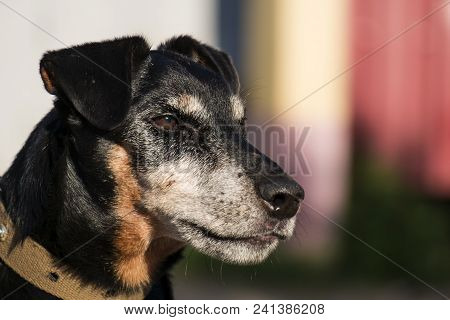 Jagdterrier looks with a stern gaze. German Hunting Terrier in half-profile poster