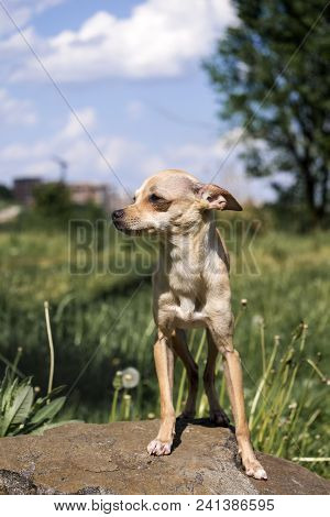 Russian Smooth-coated Toy Terrier Stands Proudly On The Stone (canis Lupus Familiaris)