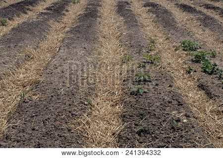 Freshly Plowed Rows In Garden With Straw Between The Rows