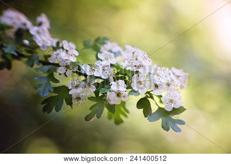 Branch Of Hawthorn Blossoms On Sunny Sring Day. Close Up.