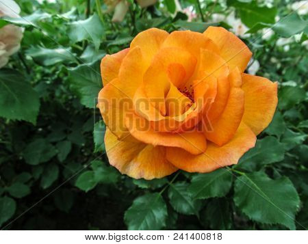 Amazing Beautiful Flower Of An Orange Rose Of Classical Shape Of A Bloom On A Background Of Green Fo