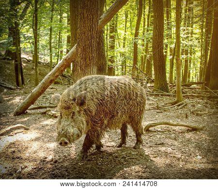 Wild Boar, Sus Scrofa, In Natural Environment
