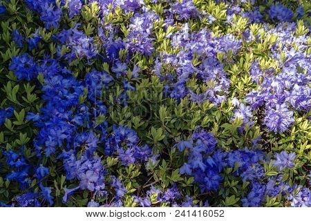 An Array Of Rhododendron Blue Diamond Flowers.