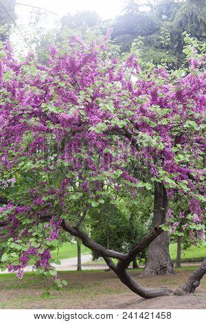 Árbol Florido En El Parque En Primavera