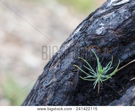 A New Pine Emerging Out Of Debris In A Burnt Tree Trunk