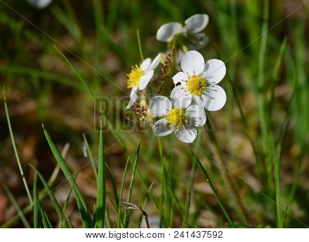 First Spring Flowers, Forestry Strawberries, South Bohemia, Czech Republic