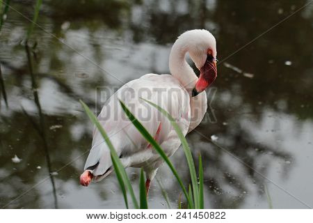 Full Body Of Rosy Colored Flamingo Waterbird Wading In The River. Photography Of Wildlife