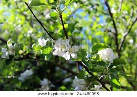 Apple tree branch. Blooming Apple trees. Apple trees bloom against the sky. Pink flowers Apple trees bloom. White blooming Apple tree. Twig of Apple tree with white flowers. Apple blossom