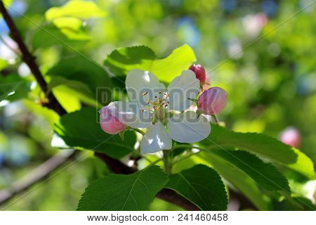 Pink flowers Apple trees bloom. Apple tree blooms in the sun. Blooming Apple trees. Apple trees bloom against the sky. White blooming Apple tree. Twig of Apple tree with white flowers. Apple blossom