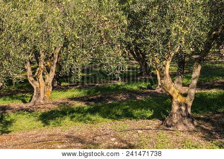 Mature Olive Trees Growing In Olive Orchard