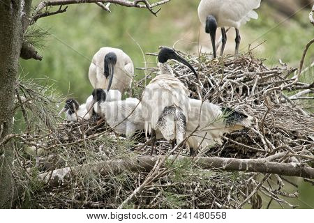 The White Ibis Nest Is Full Of Chicks And Ibises