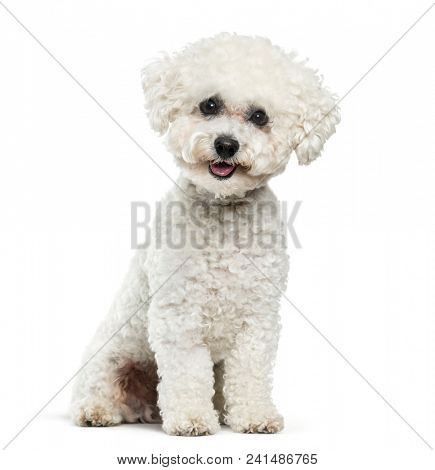 Bichon Frise dog sitting against white background