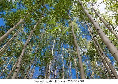 Aspen Grove Against Blue Sky