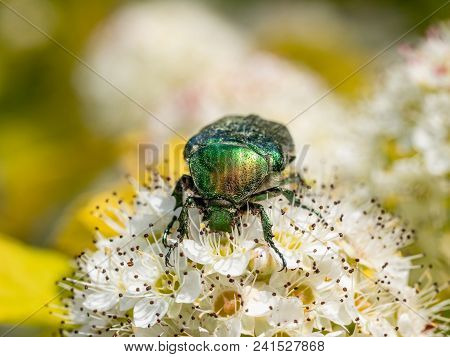 Cetonia aurata or Green Chafer beetle on a flower. Shallow depth of field poster