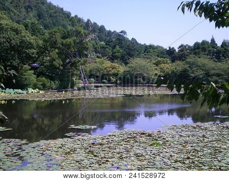 View Over A Lily Pond To An Old Tree Supported By Wooden Poles. There Are Ripples On The Water. Tree