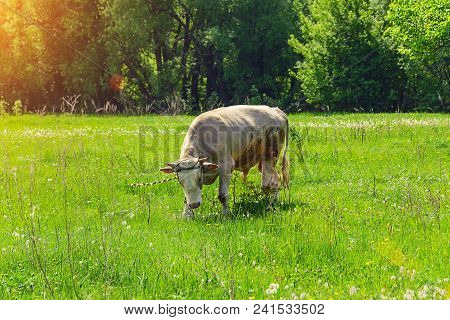 A Lone Bull, A Cow Grazing In A Meadow, Eating Green Grass On A Sunny Meadow