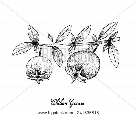 Tropical Fruits, Illustration Of Hand Drawn Sketch Chilean Guava, Strawberry Myrtle Or Ugni Molinae